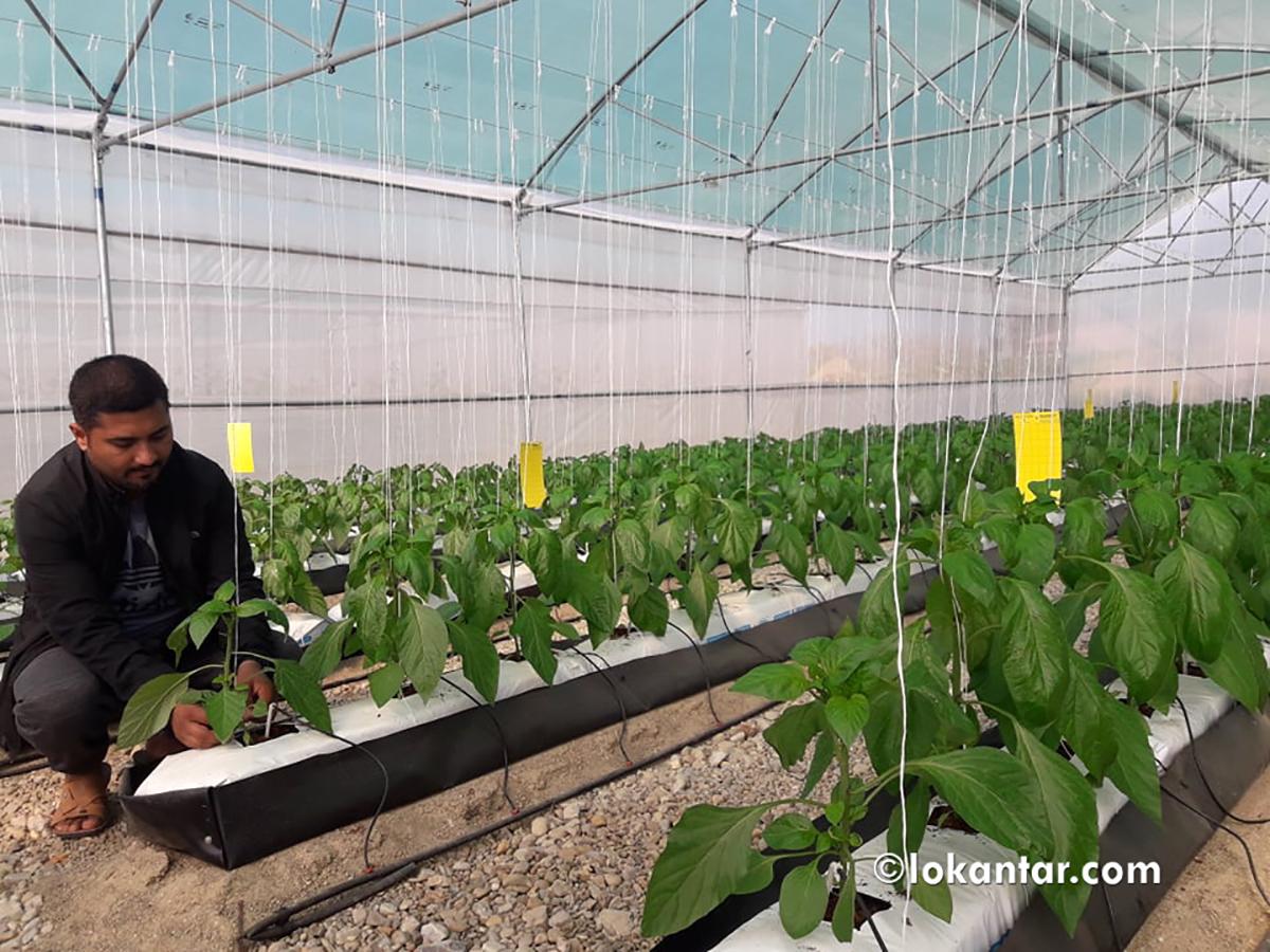 वैदेशिक रोजगारीबाट फर्केका युवाको उद्यम – माटोविनै तरकारी खेती