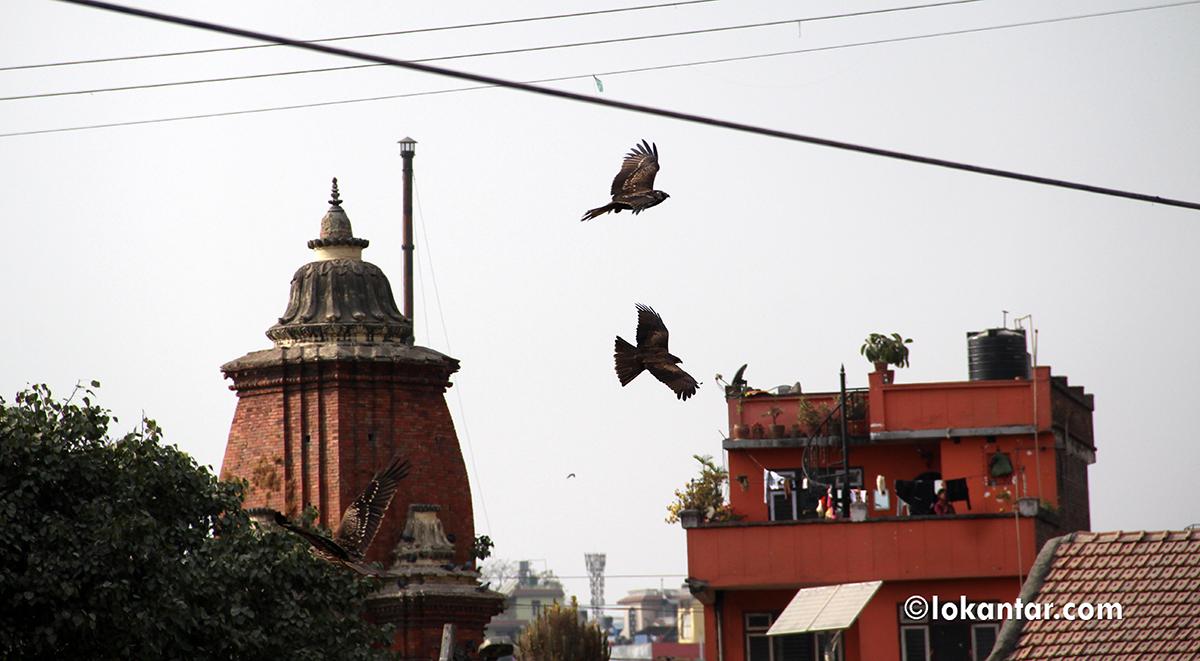 राजधानीवासीको कहर: गिद्ध र कागले घरमै ल्याउँछन् सिनो, दुर्गन्धले बस्नै मुस्किल [फोटो/भिडियो]