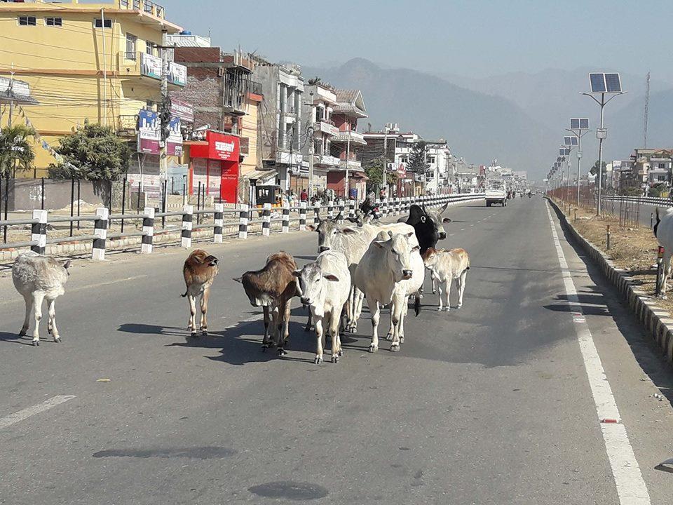दूध खाने अनि थाकेपछि गाई छोड्ने प्रवृत्ति