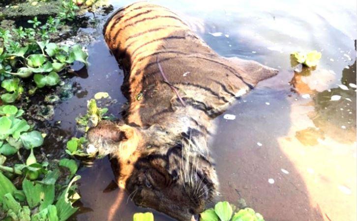 दुई महिनामा चार बाघ मरे