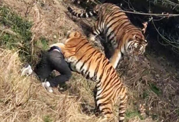 Image result for बाघको आक्रमणबाट कर्मचारीको मृत्यु
