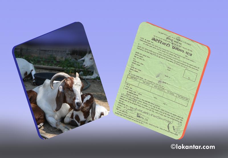 मासु खानेहरू होशियार ! पशुपक्षी जाँचै नगरी बेचिन्छ निरोगिताको प्रमाणपत्र [लोकान्तर खोज]