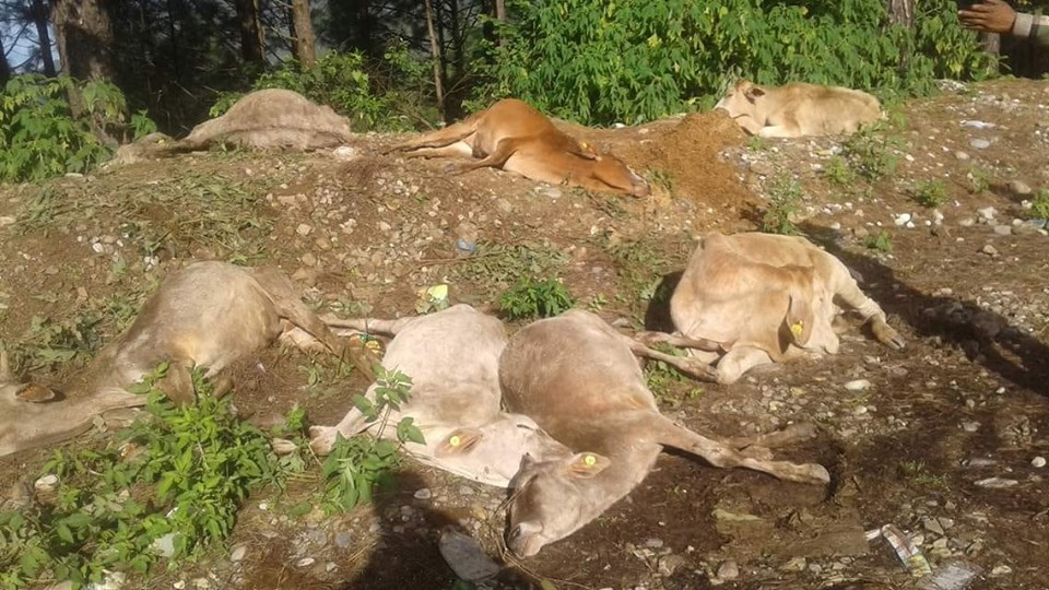 दैलेख लैजाने भनिएका नेपालगञ्जका गाई जंगलमा फालिए, २३ गाई मरे