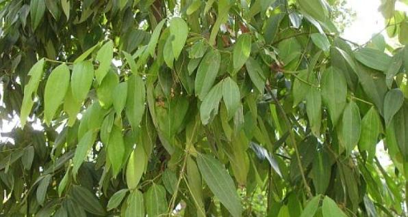 सामुदायिक वनमा रोपियो तेजपत्ता