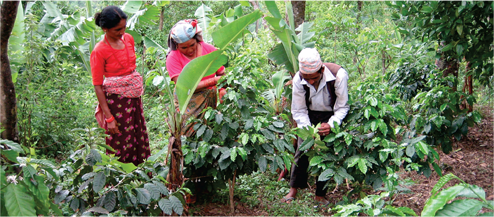 कफीखेतीतर्फ आकर्षित भए किसान, एक करोड ३२ लाख बराबरको कफी उत्पादन