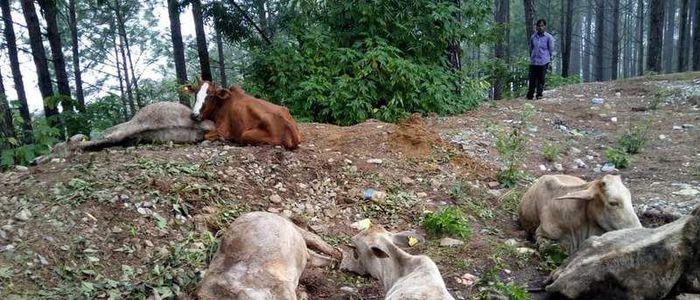 गाई हत्या प्रकरण : समन्वय समितिको नौटंकी, स्थानीय तहको अधिकारमाथि धावा