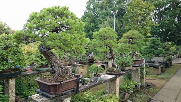 जापानमा प्राचीन बोनसाइ रुख चोरी, मूल्य एक करोडभन्दा बढी