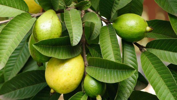 अम्बाको पात फलभन्दा उपयोगी, यस्ता छन् फाइदा