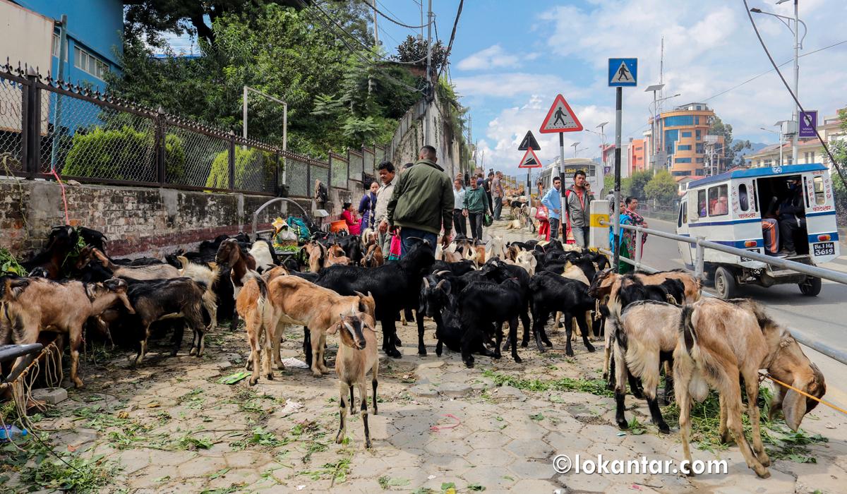 दशैंको व्यापार : काभ्रे डाँडापारीका खसीबोका काठमाडौंका सडकमा