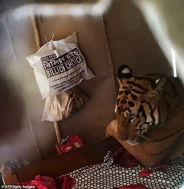 घरमा पसेर मज्जाले सुतिदियो बाघ (भिडियो)