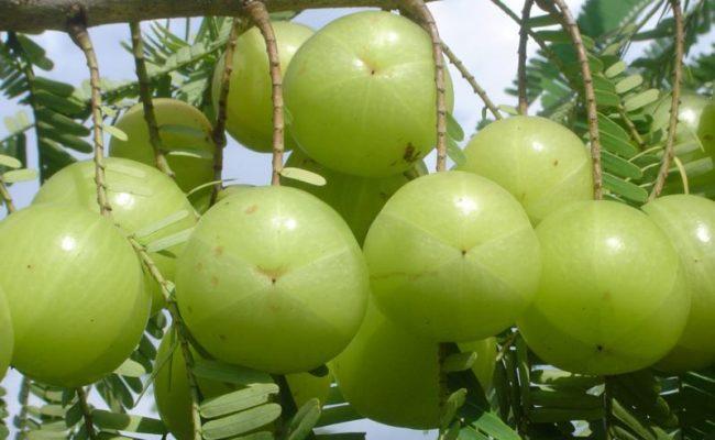 किन खाने दैनिक एउटा अमला ? जान्नुहोस ७ फाइदा